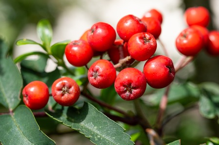 Rowan berries, Sorbus aucuparia. Close up detail of the red cluster of fruit on a Mountain Ash tree. Edible fruits loved by birds. Stock Photo