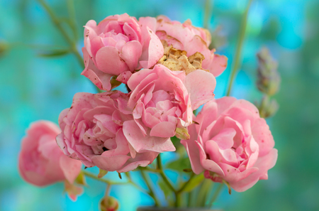 Fading polyantha rose pink flowers the fairy bunch of baby pink fading polyantha rose pink flowers the fairy bunch of baby pink flowers against a bright mightylinksfo
