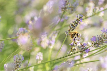 Single common carder bee feeding on lavender flowers in an English country garden on a beautiful summers day. Focus on bee, blurred background. Copy space.