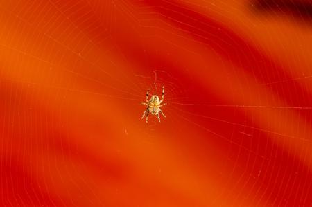Underside view of spider on web with orange background. Araneus diadematus, known as the Cross orb weaver spider or European garden spider.