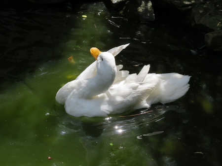 White duck bathing on pond. Close up of a female white Campbell domestic breed duck preening her feathers while on a pond. Often refered to as Jemima puddle ducks. Stock Photo