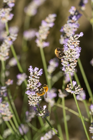 Two common carder bees collecting nectar and pollen on lavender flowers on a sunny day. Dark blurred background. Lavandula angustifolia. Vertical.