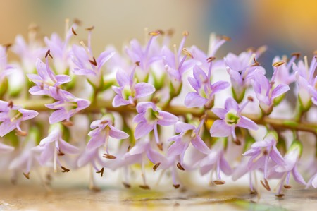Hebe speciosa flowers. Close up detail of the flower spike. Pretty, delicate, pastel lilac colours. Common names include New Zealand hebe, showy hebe, and showy-speedwell. Natural light in studio.
