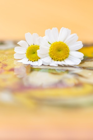 Feverfew flowers. Close up of two daisy like flowers with a brightly lit colourful background in peach and yellow. Selective focus. Medicinal plant used in herbal remedies. copy space, vertical. Stock Photo