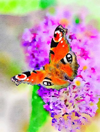 Watercolour painting of a European Peacock butterfly, Aglais io, feeding on a purple Buddleia flower. Vertical.