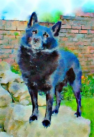 Watercolour painting of a black Schipperke dog standing in a garden. Alert and looking up in typical Schipperke pose with head slightly tilted to one side. Vertical.