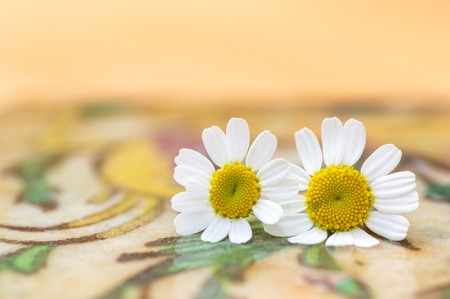 Feverfew flowers. Close up detail of two daisy like flowers with a brightly lit colourful background in peach and yellow. Selective focus. Medicinal plant used in herbal remedies. Stock fotó