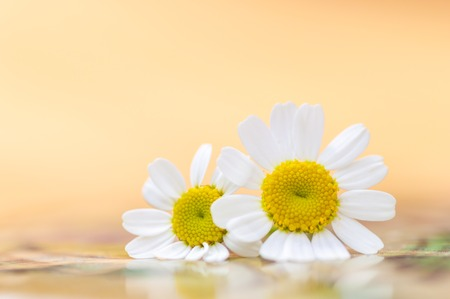 Feverfew flowers. Close up detail of two daisy like flowers with a brightly lit colourful background in peach and yellow. Selective focus. Medicinal plant used in herbal remedies. Copy space. Stock Photo