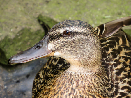 Head portrait of young female mallard duck, Anas platyrhynchos. Profile view of face with body behind.