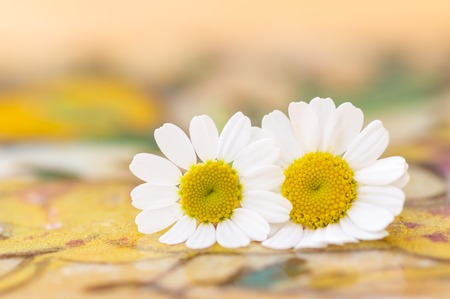 Feverfew flowers. Close up detail of two daisy like flowers with a brightly lit colourful background in peach and yellow. Selective focus. Medicinal plant used in herbal remedies. Stock Photo