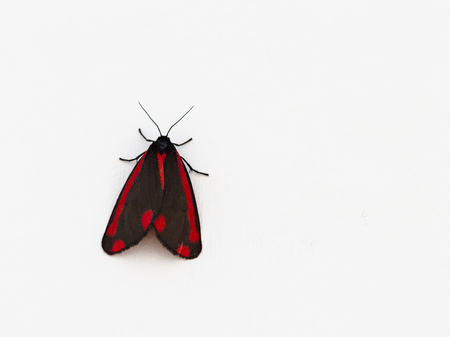 Cinnabar moth, Tyria jacobaeae, on a white background. Brightly coloured red and black insect. Copy space.