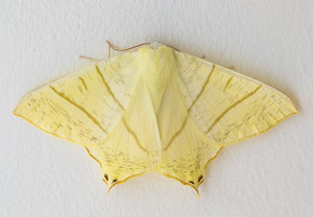 Swallow-tailed moth, Ourapteryx sambucaria, on a white background. Common European large pale yellow moth.