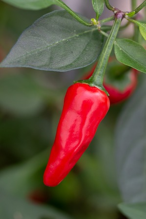 Red chilli pepper growing on plant. Variety Apache. Close up of the fruit with blurred background. Vertical.