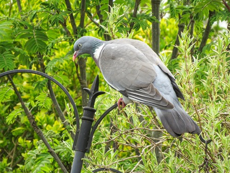 Common wood pigeon, Columba palumbus, perched on a garden bird feeder in Wales. Also known as the culver. View of back. Stock Photo