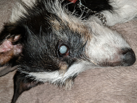 Mature eye cataract in blind dog. Close up of Jack Russell Terriers face while lying down relaxed.