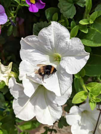 Buff tailed bumblebee, Bombus terrestris, on a white petunia flower in a British garden. Vertical. Stock Photo