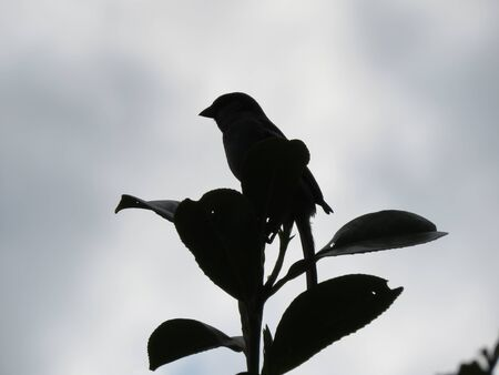 Silhouette of a house sparrow, Passer domesticus, perched on top of a Laurel branch with cloudy sky background. Stock Photo