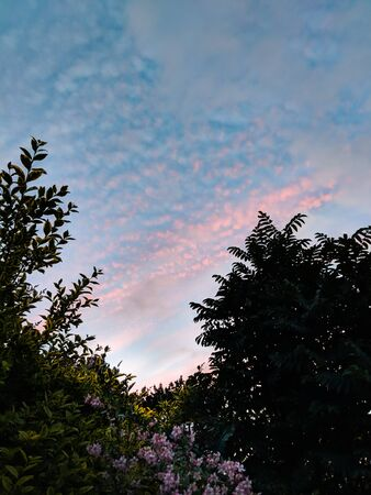 Pretty pink clouds in a blue sky during a sunset in Wales UK. Silhouettes of trees and pink flowering shrub below.
