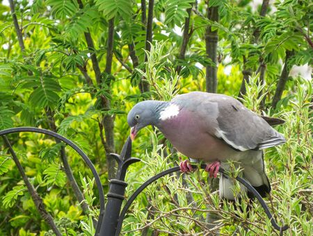 Common wood pigeon, Columba palumbus, perched on a garden bird feeder in Wales. Also known as the culver. View showing pink feet and chest. Stock Photo