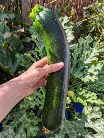 Courgette or Zucchini fruit held in womans hand showing its large size. Foliage of the plant in background. A type of small marrow or summer squash.