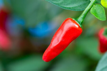 Red hot chilli pepper growing on plant with green blurred background. Variety Apache. Ripe and ready to pick and eat. Copy space.