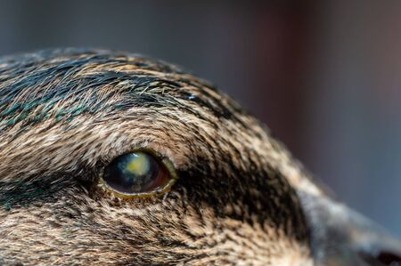 Abscess in eyeball of duck. Macro of capsule and infection in eye causing blindness in mallard, Anas platyrhynchos.