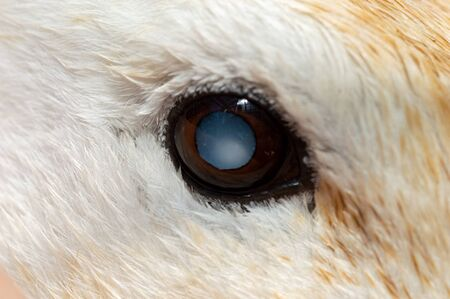 Cataract in domestic breed duck. Macro of eye causing blindness in pet Abacot Ranger.