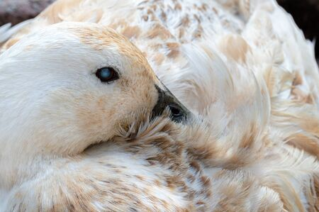 Cataract in eye of domestic breed duck causing blindness in pet Abacot Ranger. Close up in resting position. 免版税图像