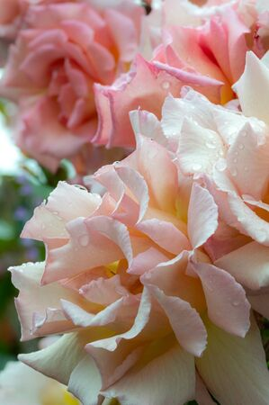 Rosa Compassion, climbing rose. Close up of beautiful pale pink rose flowers blushed with peach and covered in raindrops after a summer shower.