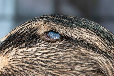 Ulcer and burst eyeball in duck. Macro of damaged eye causing blindness in mallard, Anas platyrhynchos.