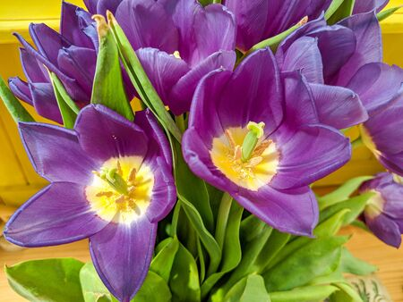 Bunch of brightly coloured flowers viewed from above. Beautiful purple tulips close up.