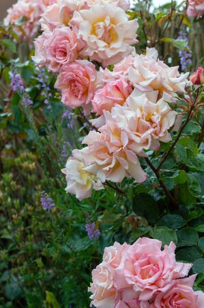 Rosa Compassion, climbing rose in a flower border. Beautiful pale pink rose flowers blushed with yellow and covered in raindrops after a summer shower. 免版税图像