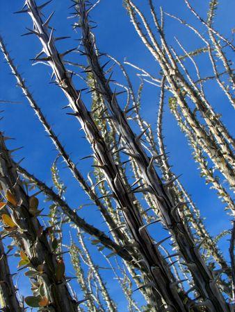ocotillo: ocotillo plant (narrow depth of field) Stock Photo