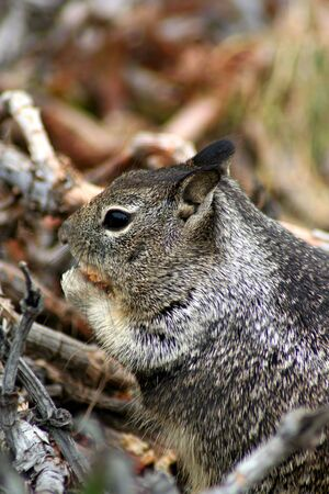 teeny: a ground squirrel