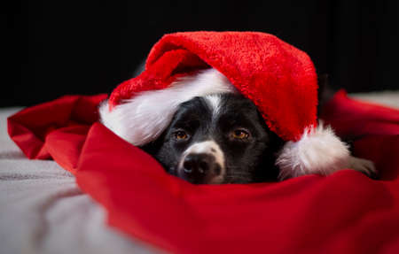 A loving border collie puppy relaxes between the red and white sheets with the Santa hat Stock Photo