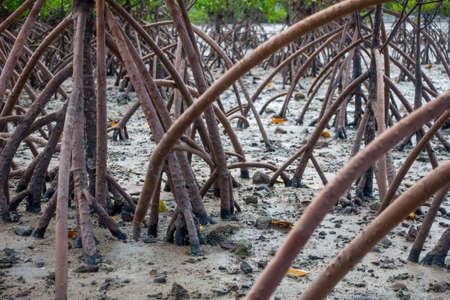 mangrove wortels Stockfoto