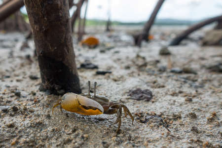 fiddler crab at the muddy mangrove