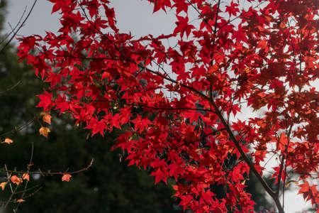 Background of orange maple leaf close up shot