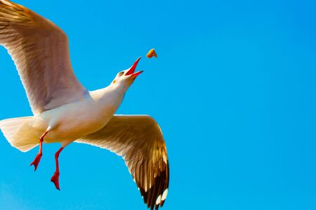 The Seagull flying to feed some crackling on blue sky  background Stock Photo - 8967572