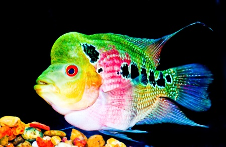 fishtank: The Cichlid Stock Photo