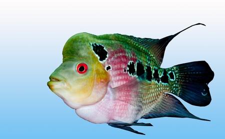 cichlid: The Cichlid fish