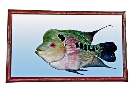 fish exhibition: The Cichlid fish