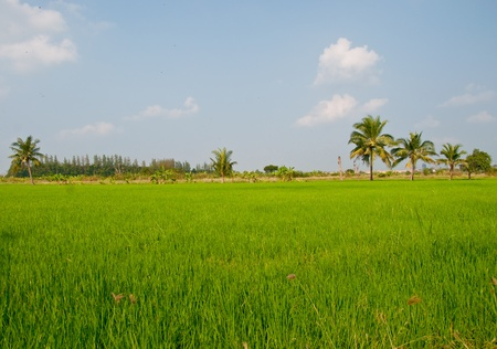 The Rice field photo