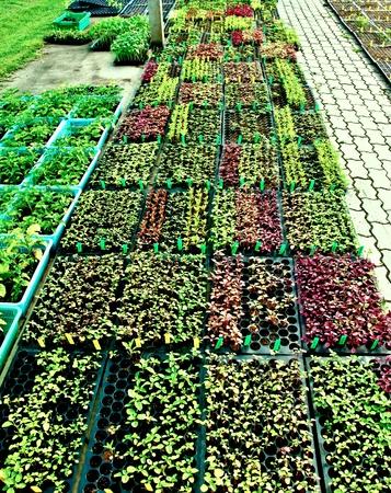 Les rang�es de plants de l�gumes qui poussent sur la maison verte