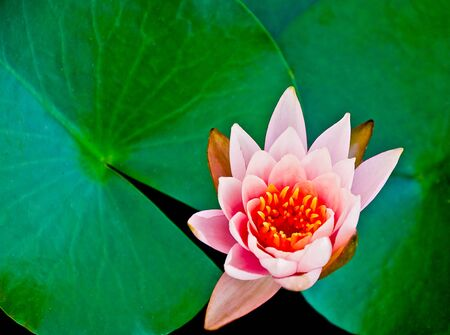The Closeup lotus on pond photo