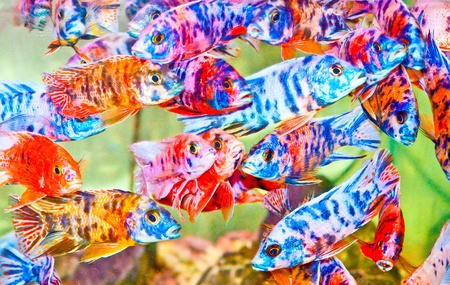 The Colorful of  cichlid fish Stock Photo - 11953345