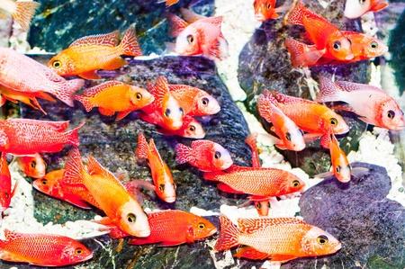 The Cichlid fish Stock Photo - 11953436