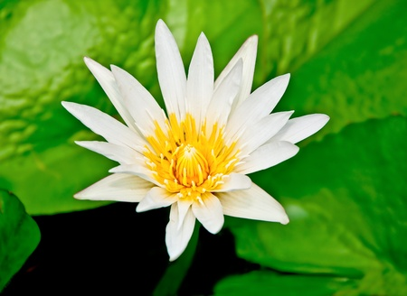 The White lotus Stock Photo - 11985291