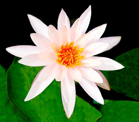 The White lotus Stock Photo - 12003878