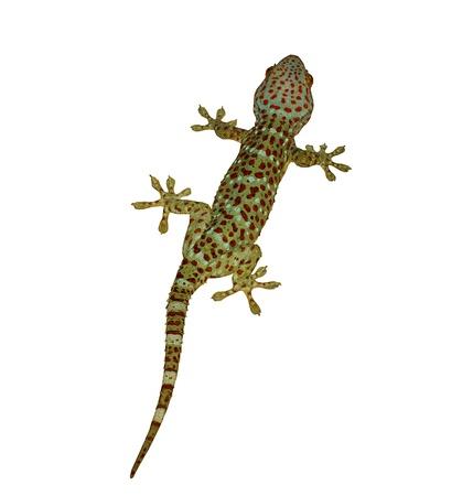 eidechse: Der Gecko isoliert auf wei�em Hintergrund